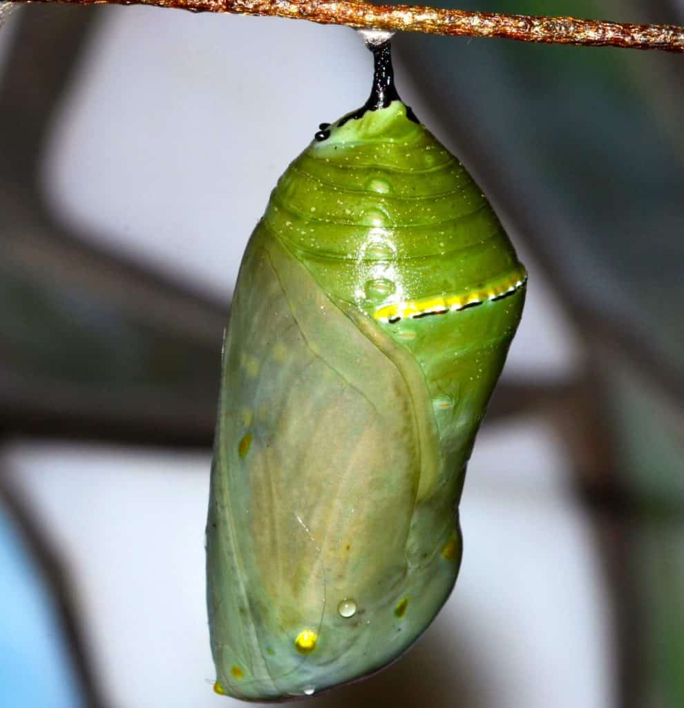 Monarch chrysalis hanging from a wood twig. The orangish-colored pupa can be seen developing inside.