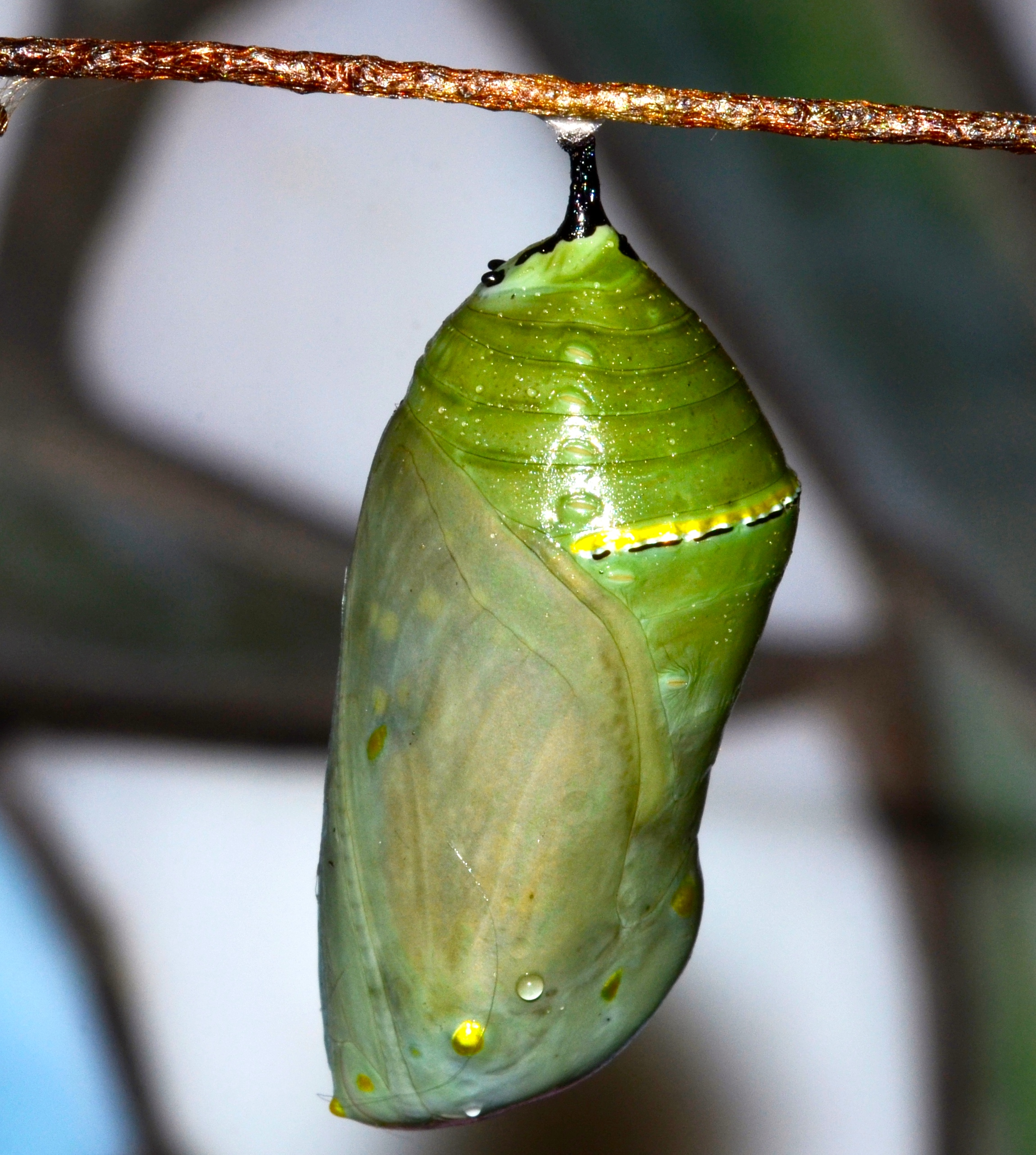 Monarch Butterfly Life Cycle In Pictures  U2013 Welcome Wildlife