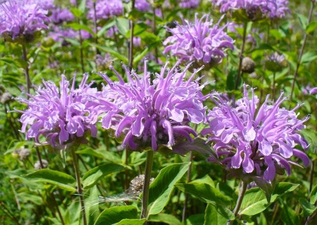 Beebalm (Monarda fistulosa). (John Giez / EOL; CC BY-NC 2.0)