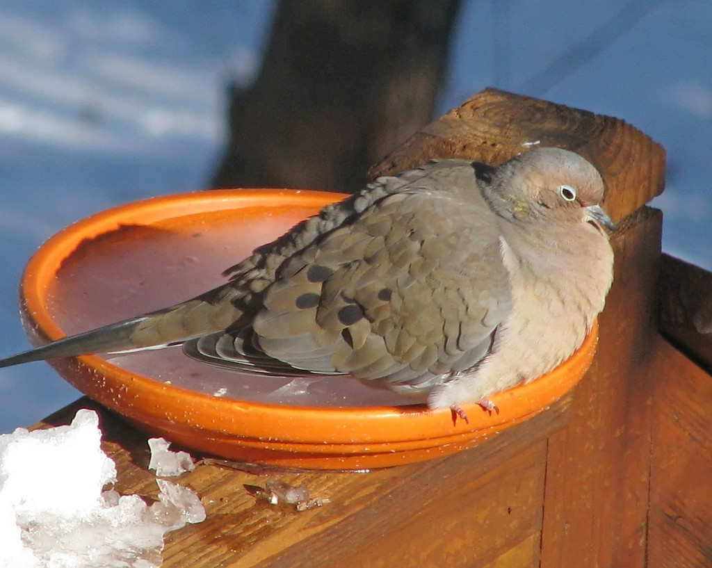 Mourning dove sitting on flowerpot saucer with frozen water in it.