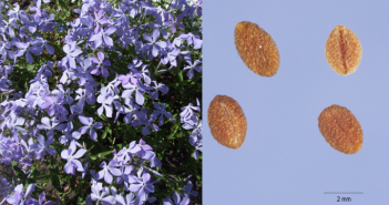 Wild Blue Phlox plant and its seeds