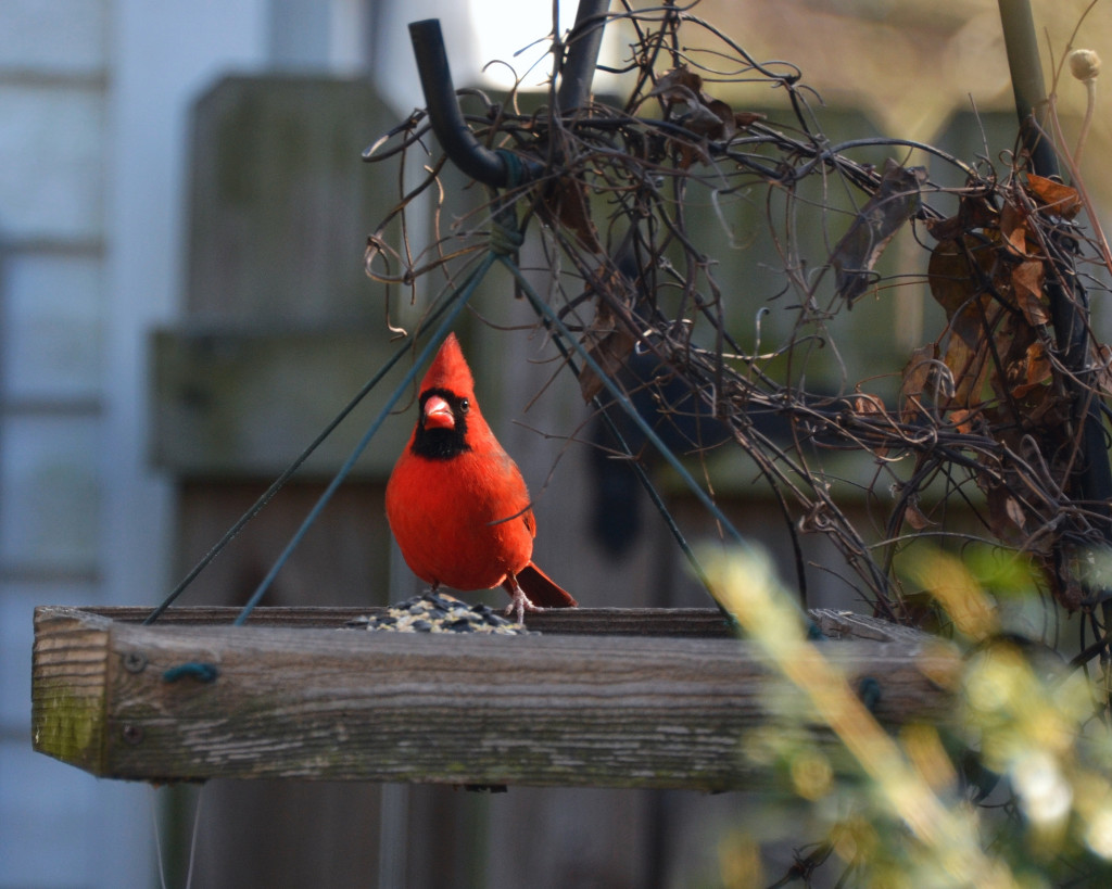 Male Cardinal standing on wooden, hanging platform feeder.