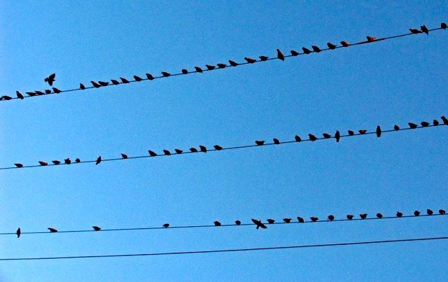 Dozens of Purple martins sitting side by side on overhead power lines