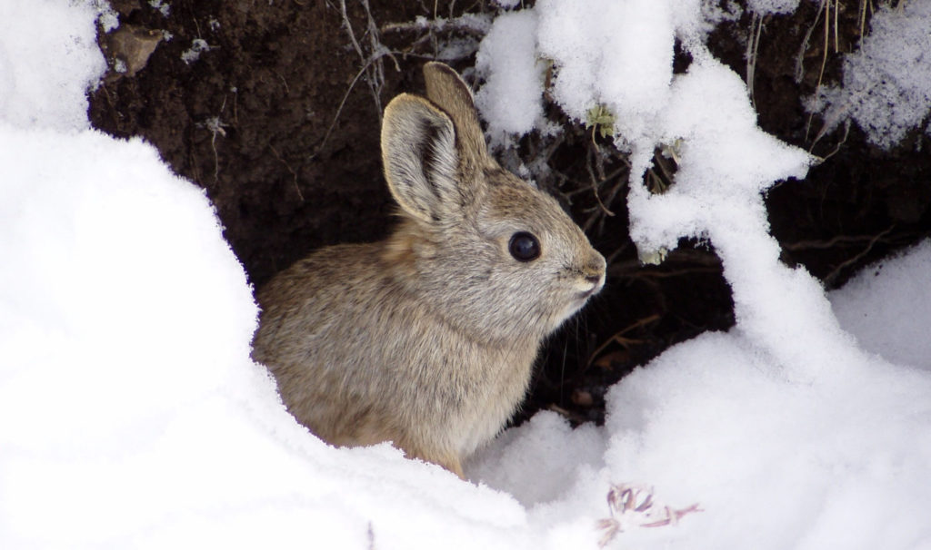 Pygmy rabbit sitting in snow