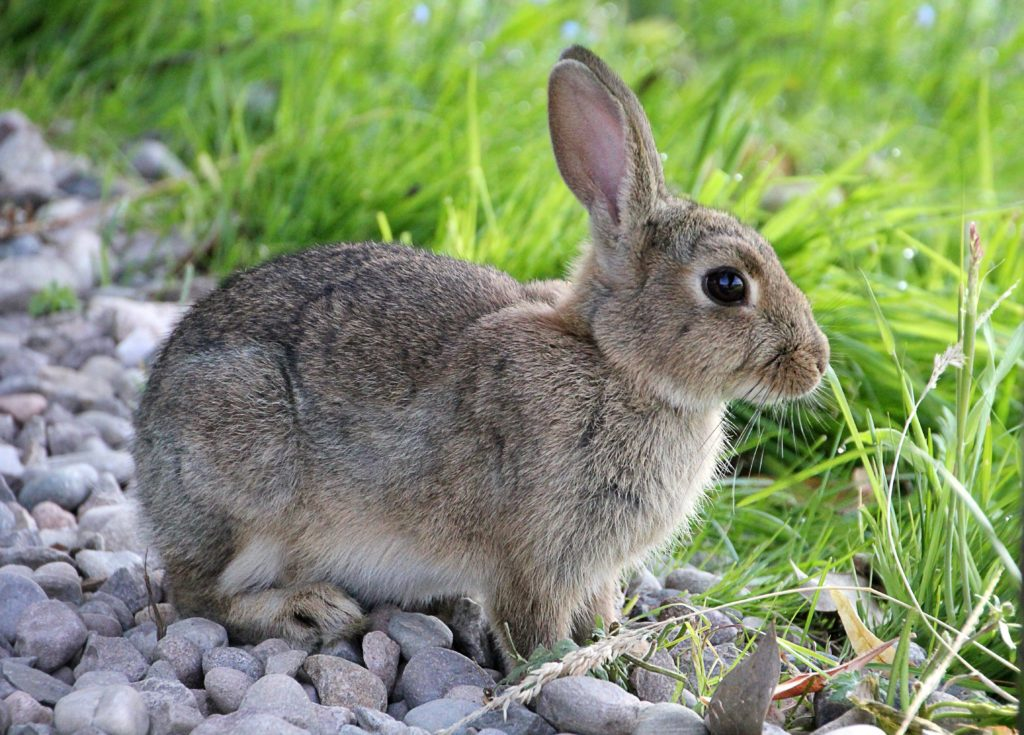 Cottontail rabbit standing on rocky surface next to green grass.
