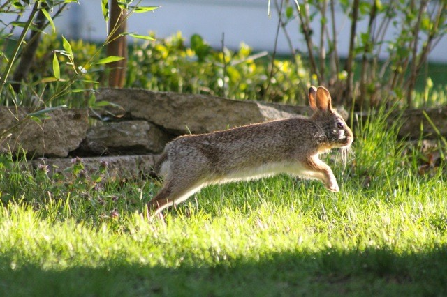 Cottontail rabbit running on grassy surface.