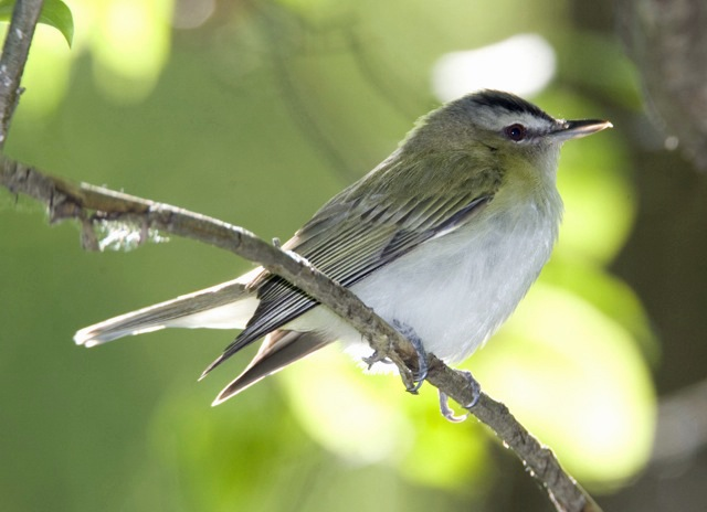 Red-eyed Vireo perched on a tree branch