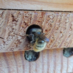 The Red Mason Bee resembles a honeybee. (Orangeaurochs / Wiki; cc by 2.0)