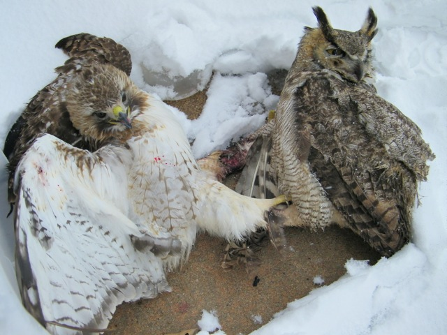 Red-tailed Hawk and Great-horned Owl locked in a battle to the death.