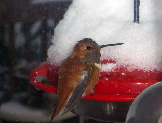 Rufous Hummingbird on a snow-covered hummingbird feeder.