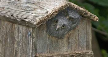 Two downy, gray Eastern Screech Owl nestlings peering out of the opening in their bird house.