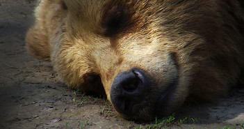 Sleeping bear. (20072 / Pixabay)*