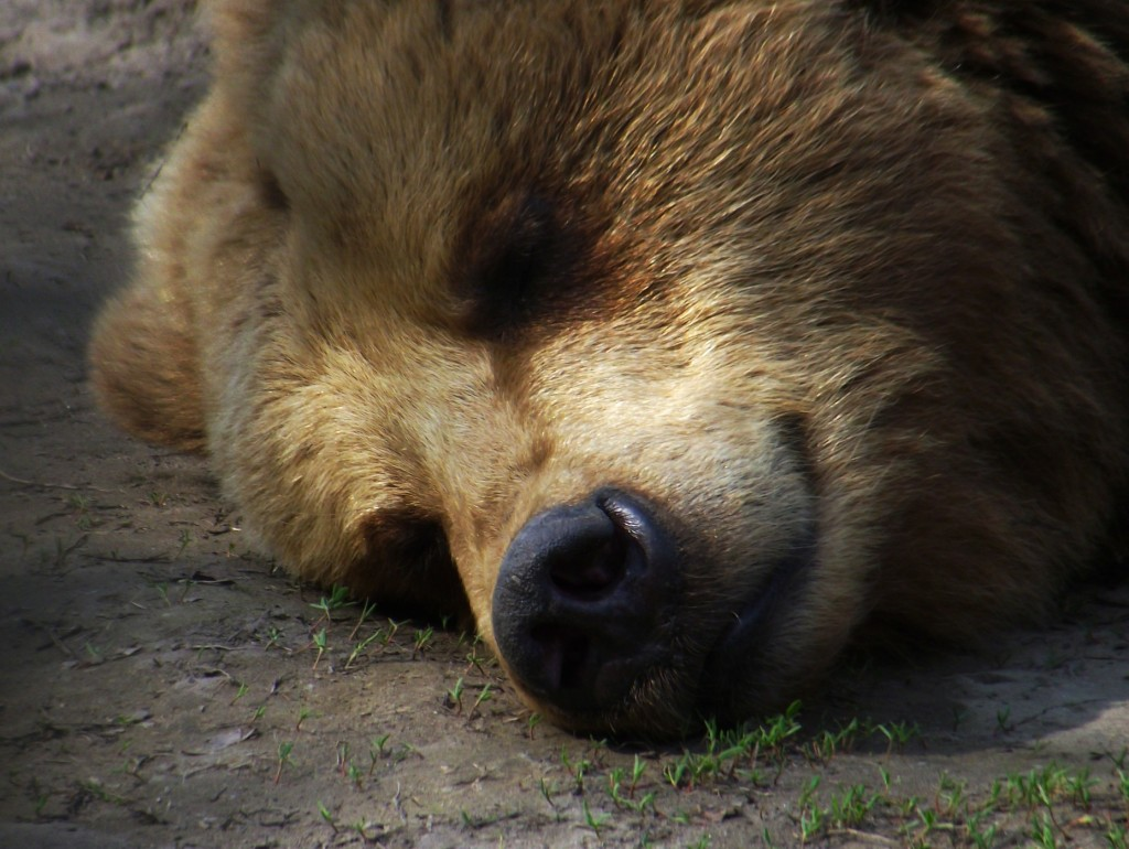 Close up of a brown-colored bear's head, with its eyes closd.