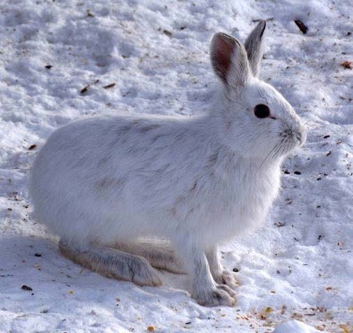 Snowshoe Hare with white hair standing on snow packed surface.