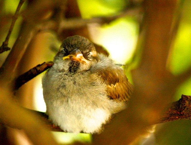 House sparrow napping with eyes closed in daytime, while perched on tree branch.