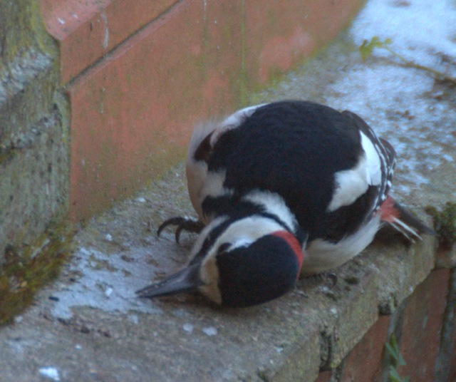 Male Spotted-woodpecker lying on its side while chipping at icy snow with his beak