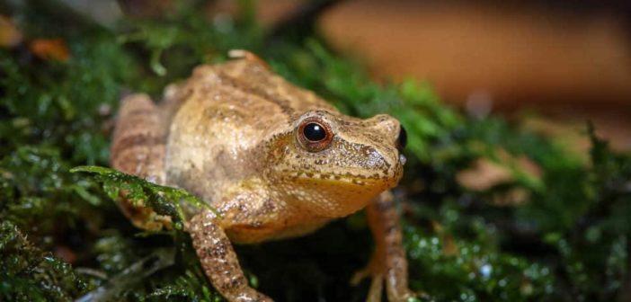 Spring Peeper frog, Pseudacris crucifer