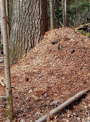 Very high and broad midden that was created by pine squirrels called Douglas's squirrels.