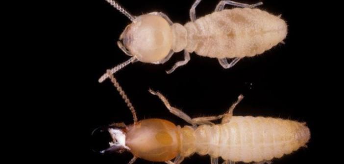Formosan Subterranean Termites, Coptotermes formosanus