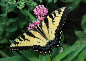 Tiger Swallowtail female