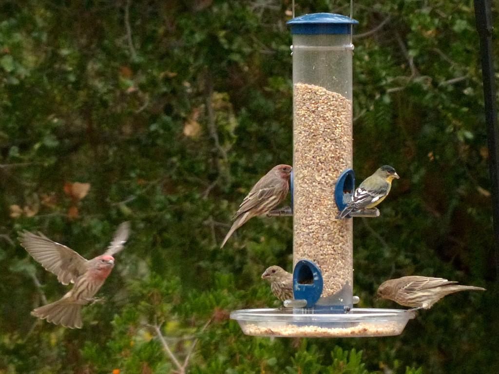 Several birds using a tube feeder