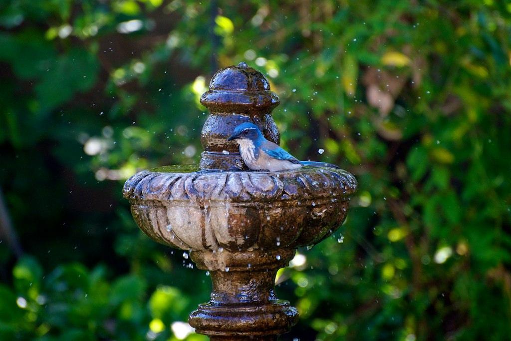 Western Scrub Jay in fountain