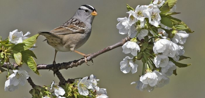 White-crowned Sparrow standing on tree limb