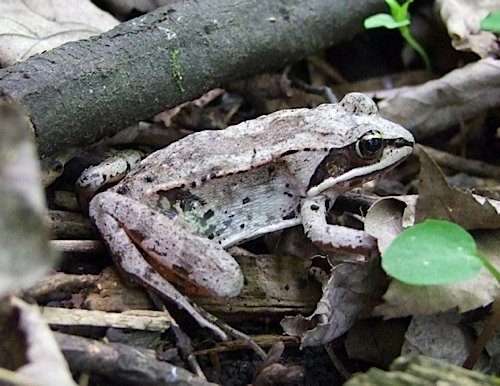 Image of a Wood Frog