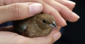Image of a small bird carefully cradled in a person's hands