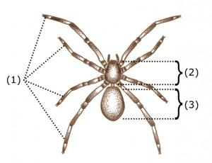 (1) legs (2) prosoma (3) abdomen (CDC / Wiki)