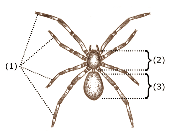Drawing in brown ink of a spider, showing its three body sections, the legs, prosoma and abdomen.