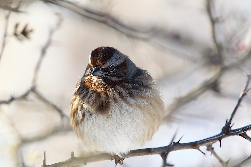 Image of sparrow with feathers all fluffed up to stay warm.