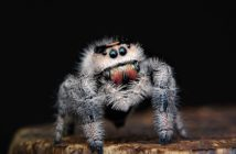 Photo of a grayish, hairy, jumping spider with reddish-colored chelicera.