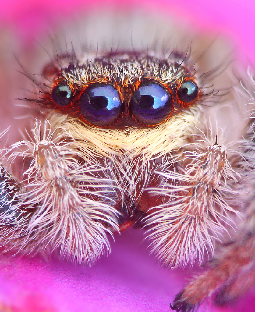 Close up showing the four large front eyes of a species of spider called a jumping spider.