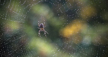 Pretty, dew-covered spiderweb with an orbweaver spider sitting in the center, waiting for prey.