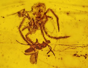 Fossil of spider and captured prey in amber (Oregon State Univ. / Wiki; CC BY-SA 2.0)