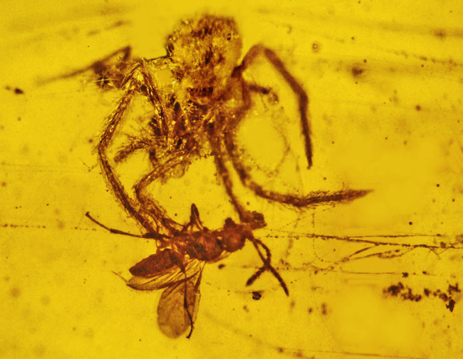 Fossil of spider clinging to captured prey, trapped in yellow amber.