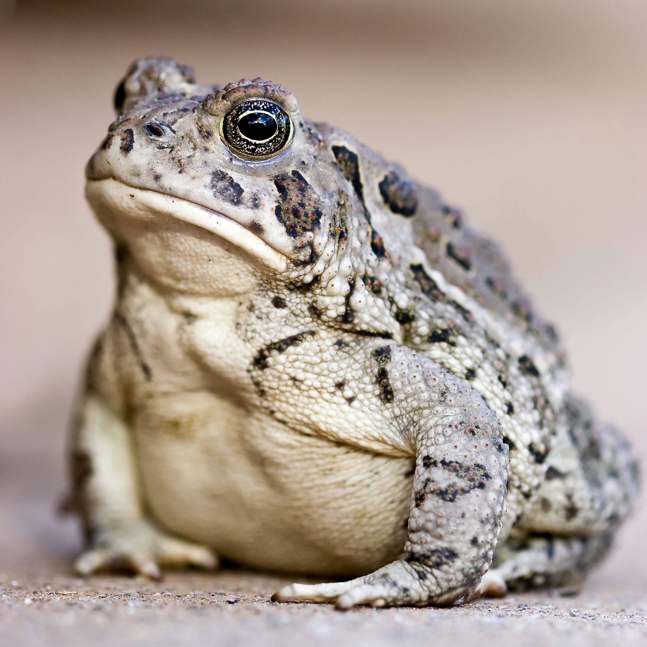 Монгольская жаба bufo raddei