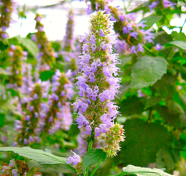 Anise Hyssop (Agastache foeniculum). (photo: Pau Pamies Gracia /  Wiki; CC BY-SA 4.0)