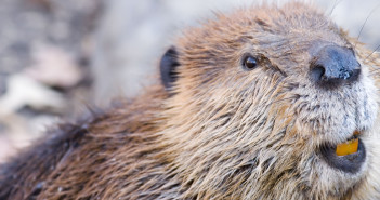 Close up image of a beaver
