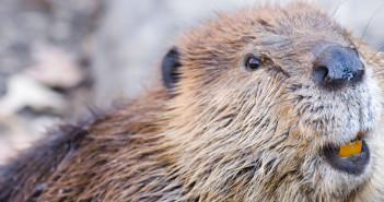 Close up image of a beaver
