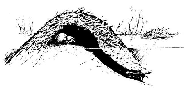 Black and white illustration of the structure of a beaver dam