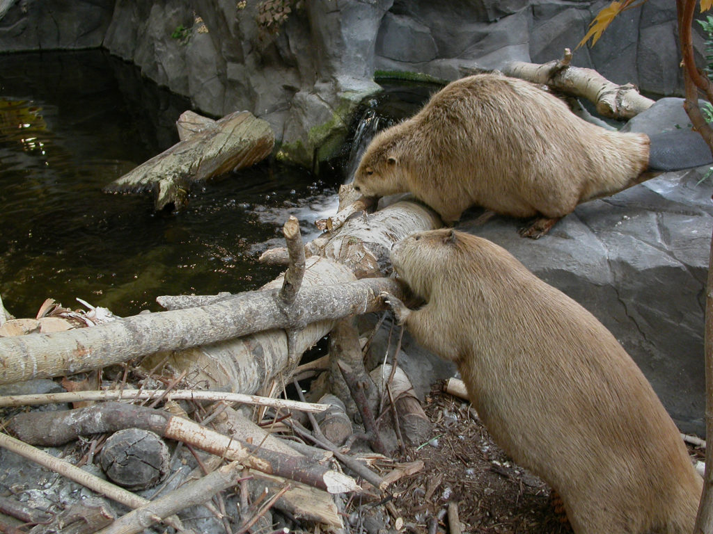 Image of two beavers building a dam.