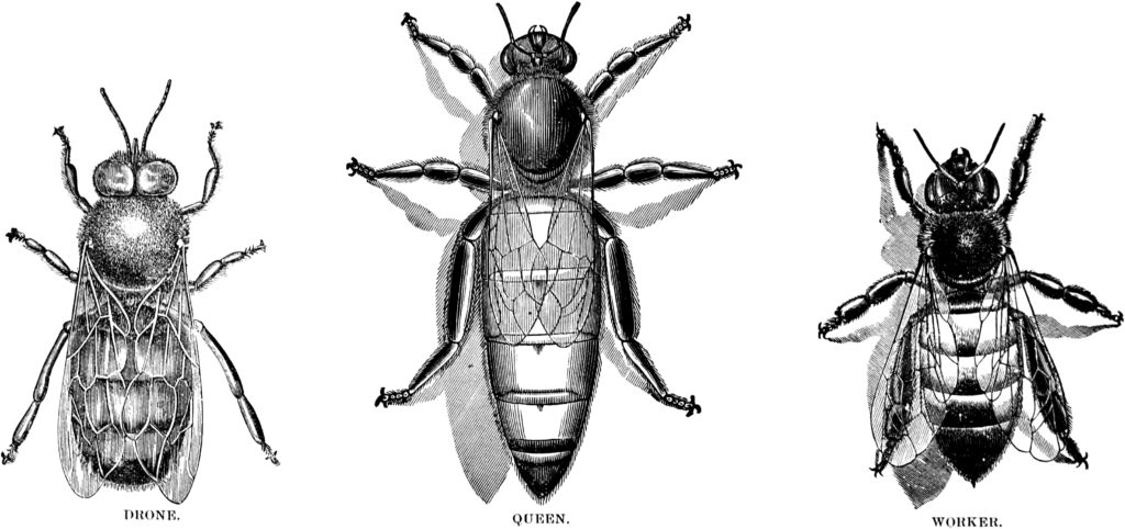 (from The ABC of Bee Culture, by A.I. Root and E.R. Root, Medina, Ohio: A.I. Root, 1895; pg 231)