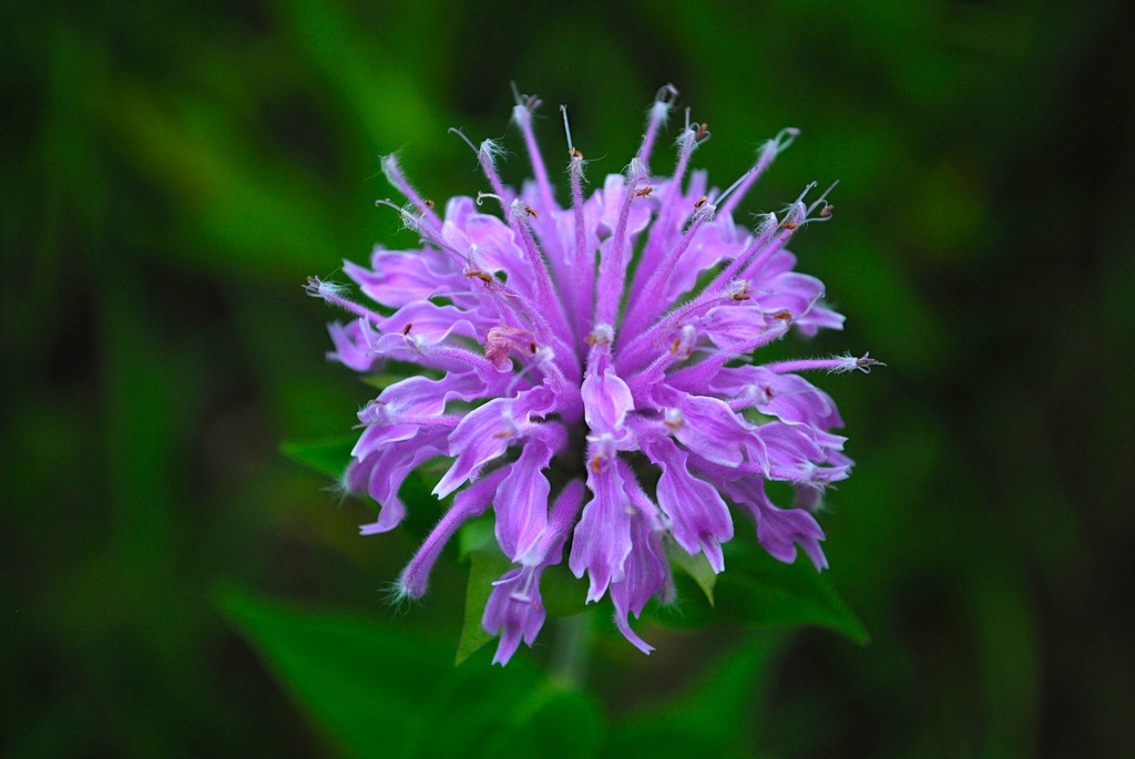 Beebalm (Monarda fistulosa). (photo by Joshua Mayer / Flickr; CC BY 2.0)