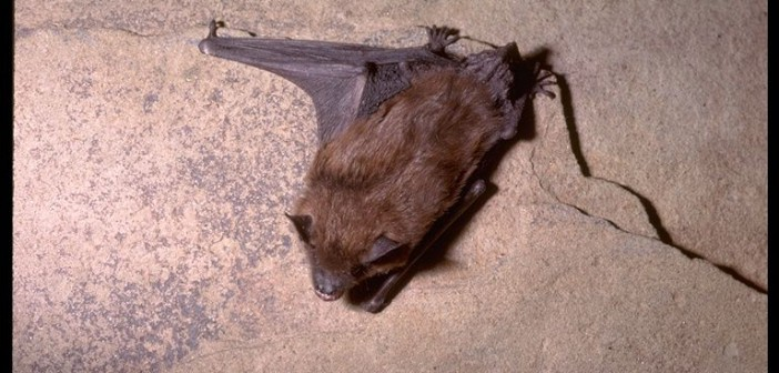 Image of a Big Brown Bat clinging head-down to a rock wall.