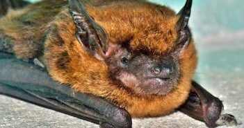 Image of Big Brown Bat lying on a horizontal surface.