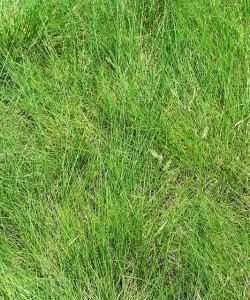 Image of Blue grama grass