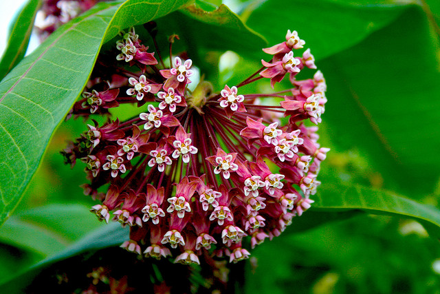 Any native milkweed. Shown here is Common Milkweed (Asclepias syriaca). (Jacob Enos / Flickr; CC BY-SA 2.0)