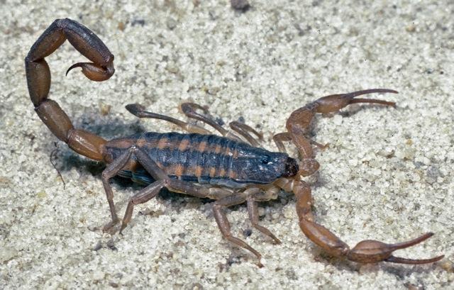 Common striped scorpion